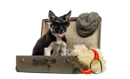 Border collie sitting in an old vintage suitcase full of accesso Royalty Free Stock Image