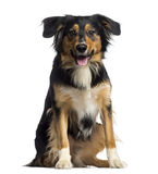 Border Collie sitting and panting (2 years old). Isolated on white Stock Photos