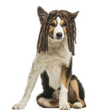 Border collie sitting with a rasta wig, isolated. On white Royalty Free Stock Photo