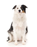 Border Collie Sitting. On a white background royalty free stock images