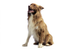 Border Collie sitting in the white background Royalty Free Stock Photos