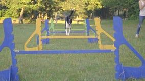 Border collie skacze wysoko przez bariery i bieg along popierają kogoś dziewczyna tresera na zielonym gazonie, zwolnione tempo zbiory