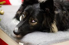 Border collie skrovlig hundblandning Royaltyfria Bilder