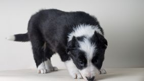 Border collie smeeling quelque chose chien de chien de berger beau image stock