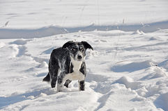 Border collie in snow Stock Images