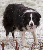 Border Collie in Snow. An alert Border collie watching and waiting in snow Stock Photos