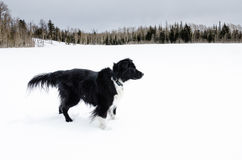 Border Collie In Snow Royalty Free Stock Image