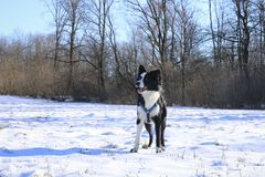 Border collie on the snow royalty free stock image