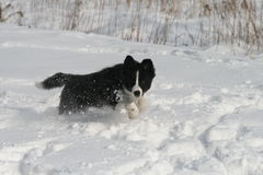 Border collie, Snow Puppy. Fun in deep fresh snow Stock Photos