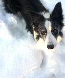 Border Collie In the snow Stock Images