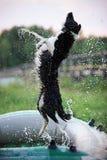 Border collie som hoppar över vattendropparna Fotografering för Bildbyråer