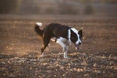 Border collie-Sonnenuntergang lizenzfreies stockbild