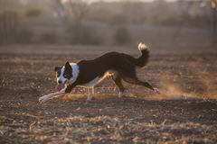 Border collie-Sonnenuntergang lizenzfreie stockfotos