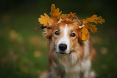 Border collie sous des feuilles de jaune en automne Photo stock