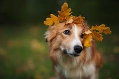 Border collie sous des feuilles de jaune en automne Photographie stock libre de droits