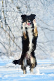 Border collie-Spaß im Winter Stockfotos