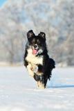 Border collie-Spaß im Winter Lizenzfreie Stockbilder