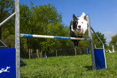 Border Collie in the Sport of Agility Stock Photo