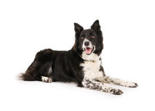 Border Collie. With spotty legs laying on a white background Royalty Free Stock Image