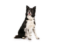 Border Collie. With spotty legs laying on a white background stock photos