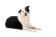 Border Collie. With spotty legs laying on a white background stock image