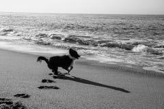 Border collie spring i stranden Arkivbilder