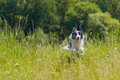 Border collie spring och banhoppning i gräs royaltyfria foton