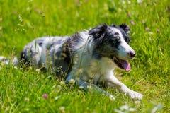 Border collie spring och banhoppning i gräs arkivfoto