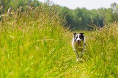Border collie spring och banhoppning i gräs fotografering för bildbyråer