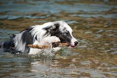 Border collie-sprongen uit het water Stock Fotografie