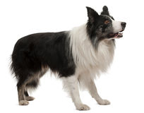 Border Collie standing royalty free stock photography