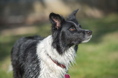 Border collie standing. Black and white Border collie standing on the grass Stock Photography
