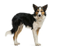 Border collie standing, looking at the camera, Royalty Free Stock Photo