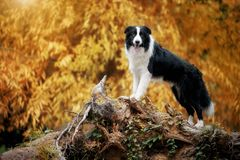 Border collie standing on a mountain in the background of the forest royalty free stock image