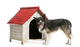 Border Collie standing next to a kennel against white background. Isolated on white royalty free stock image