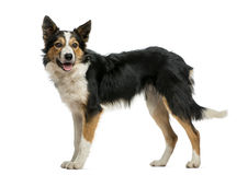 Border collie standing, panting Royalty Free Stock Images