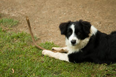 Border Collie with stick. Young Border Collie dog playing with a branch, lying down, looking at camera Stock Image