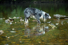 Border Collie stood in a River Royalty Free Stock Photo