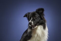 Border collie in the studio royalty free stock photos