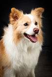 Border Collie. Studio shot of Yellowand White Border Collie royalty free stock photography