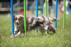 Border Collie successfully running through slalom on agility competition Royalty Free Stock Photos