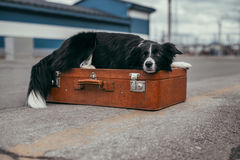 Border collie with suitcase. Waiting for train Royalty Free Stock Image