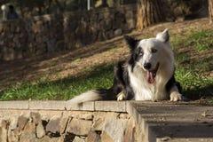 Border collie sulla parete di pietra nel parco Fotografia Stock