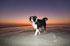 Border Collie sunset Stock Photography