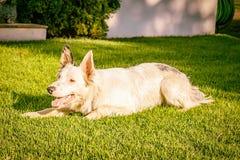 Border collie sur l'herbe au coucher du soleil Photo stock