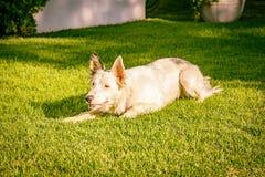 Border collie sur l'herbe au coucher du soleil Photos libres de droits