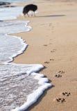 Chien marchant sur la plage Photographie stock