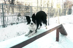 Border collie sur le boom Image libre de droits