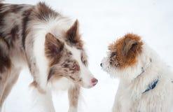 Border collie sveglio incontra il terrier di Russel della presa Fotografia Stock Libera da Diritti