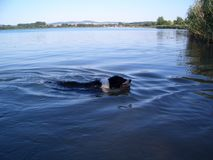 The border collie swims in a lake royalty free stock photos